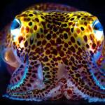 Hawaiin Bobtail Squid